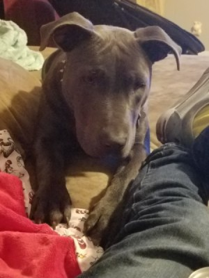Is My Dog a Full Blood Pit Bull?