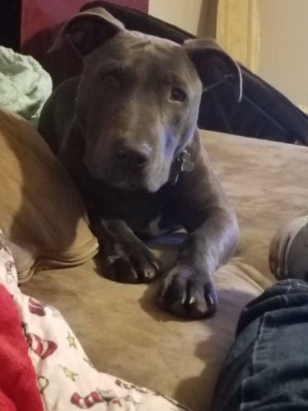 Is My Dog a Full Blood Pit Bull? - gray puppy