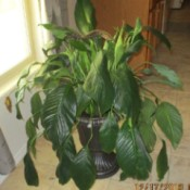 Identifying a Houseplant - peace plant