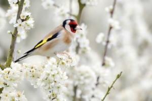 bird sitting among white tree blossoms