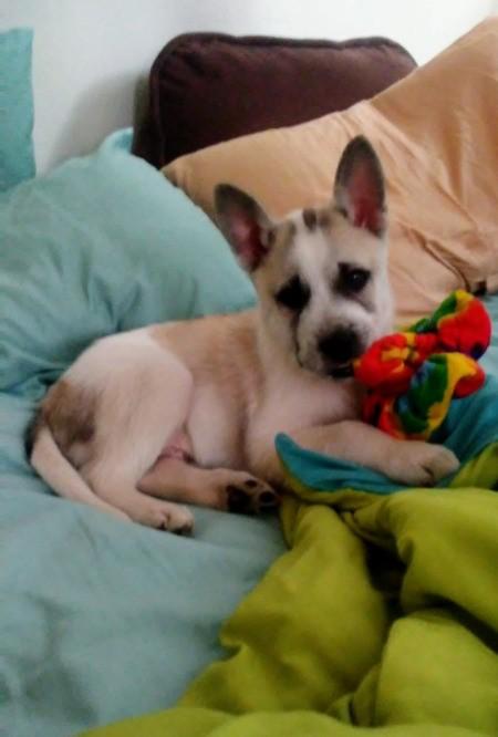 Duke (Husky Pit Bull Cross) - on the bed