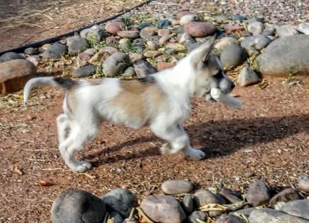 Duke (Husky Pit Bull Cross) - outside carrying a toy