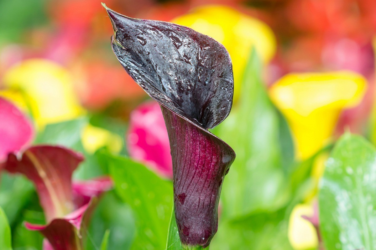 Identifying A Calla Lily Variety Thriftyfun