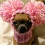 Cricket (Chihuahua) - wearing a pink neck cuff with pom pom ears