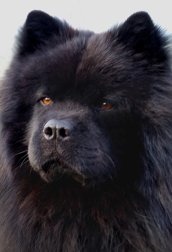 Chow Chow Breed Information and Photos   ThriftyFun