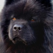 Striker (Chinese Chow Chow) - closeup of a black Chow