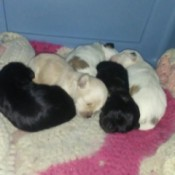 Puppies (Shih Tzu)  - 5 puppies