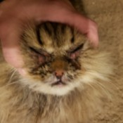 Treating a Cat for Feline Acne and Crusty Eyes - closeup of cat's face
