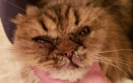 Treating a Cat for Feline Acne and Crusty Eyes
