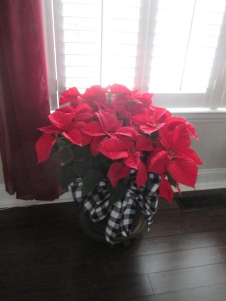 Adding Ribbon Flair To Planters - black and white bow on pot of poinsettias