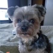 Gracie (Yorkie) - clipped Yorkie pup