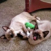 Porkchop and Enos (Siamese Mix) - cats with seal point coloring