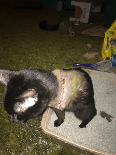 Stoping a Cat from Scratching Its Wound