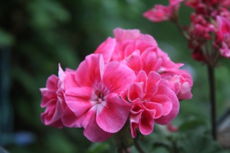 Beautiful Flowers - pink geranium