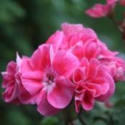 Beautiful Flowers - pink geranium