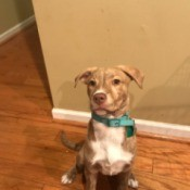 Is My Dog Part Pit Bull? - tan and white brindle mixed breed dog