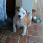Is My Dog a Staffordshire Terrier? - light brown and white pupppy