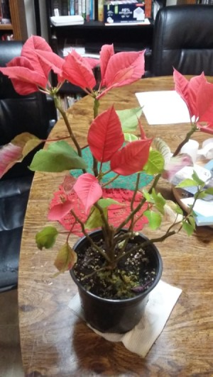 Identifying a Houseplant - what appears to be a poinsettia with missing leaves
