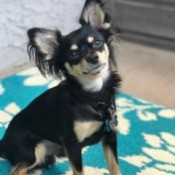 What Breed Is My Chihuahua Mixed With?