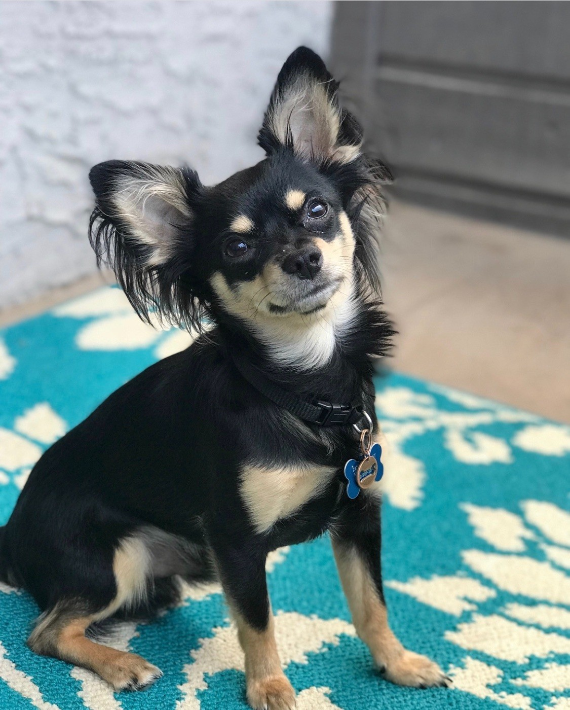 chihuahua mix breeds what is my chihuahua mixed with thriftyfun 1754