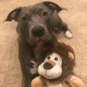 Is My Dog an American Pit Bull Terrier? - dog with a stuffed lion