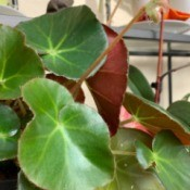 Identifying a Houseplant - round leafed plant