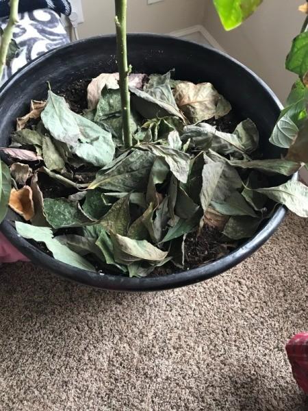 Avocado Tree Losing Leaves