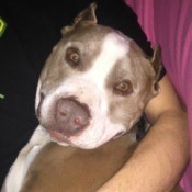 Rescue Pit Bull Peeing Inside - brown and white Pit being held