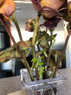 Rose Stems Started Sprouting in My Vase - cut roses starting to sprout in a vase