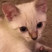 Henry (Siamese Mix) - pretty part Siamese kitten