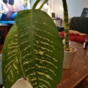 Identifying a Houseplant - tall stalked plant with large green leaves and white along leaf veins