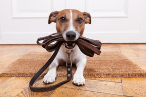 A cute dog with a leather leash.