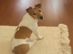 A Jack Russell Terrier sitting on a rug.