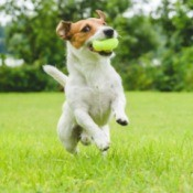 A Jack Russell terrier catching a ball outside.