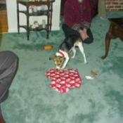 A dog checking out a Christmas present on the floor.