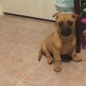 Is My Dog a Chiweenie? - light brown puppy