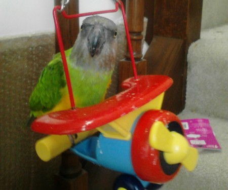 Petie (Senegal Parrot) - green, yellow, and gray parrot on toy plane