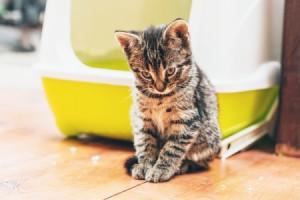 Kitten outside of litter box on wood floors.