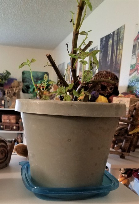 A plastic container being used as a drip catch tray for a potted plant.