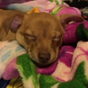 Padro (Chihuahua Mix) - sleeping puppy