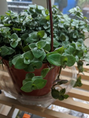 What Is This Plant? - small green leafed plant