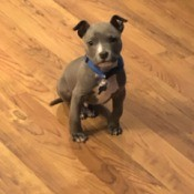 Is My Dog an American Bully or a Pit Bull Terrier?