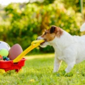 Jack Russell pulling a toy wagon of balls