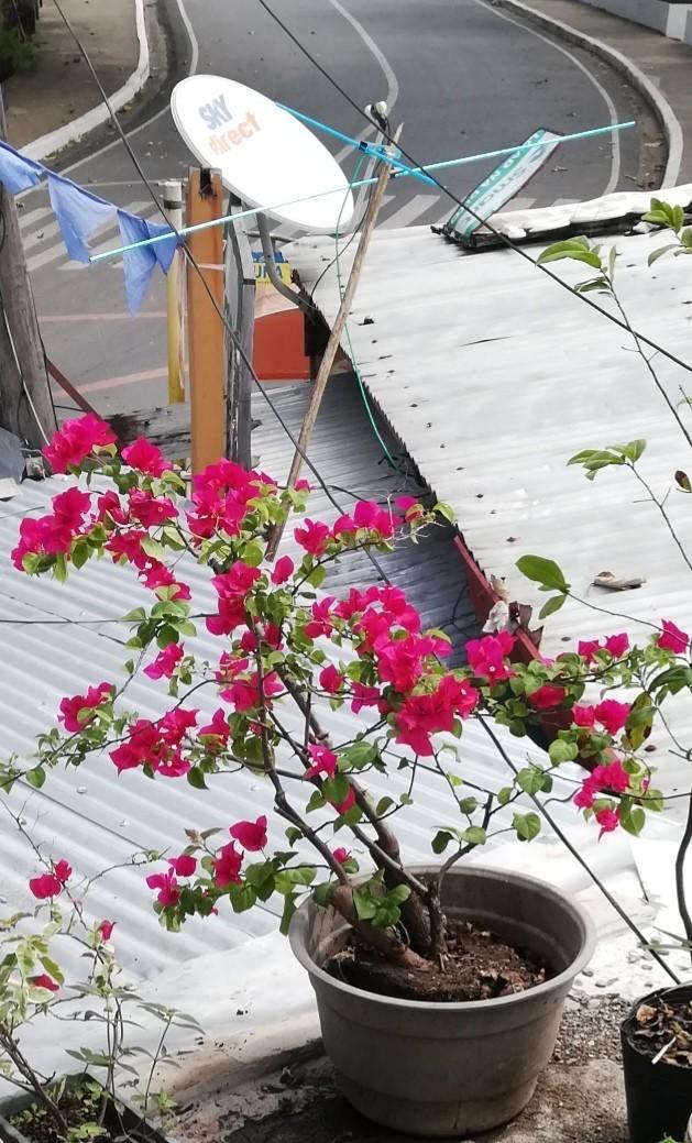 Growing Bougainvillea  Thriftyfun-8564