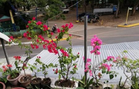 Blooming bougainvilleas.