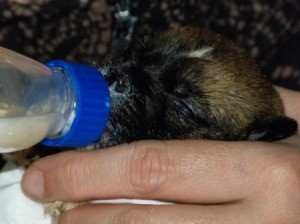 Feeding a small puppy with a bottle.