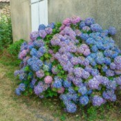 A hydrangea bush planted next to a wall.