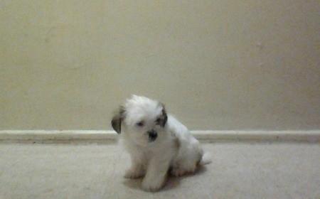 Butter Scotch - Shih Tzu puppy against beige background