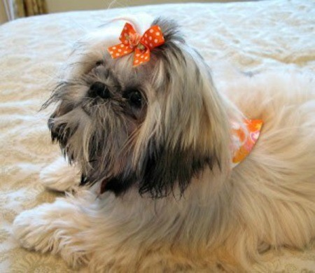 Daisy (Shih Tzu) - white and gray dog with bow in her hair
