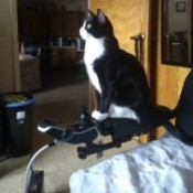 Sasha (Tuxedo Cat) - sitting on the arm of the wheelchair
